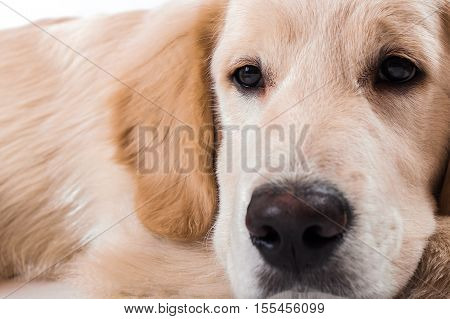 Dog's face sitting in the studio white background