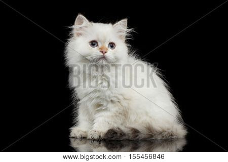 Furry British breed Kitty White color Sitting and Looking up on Isolated Black Background with reflection