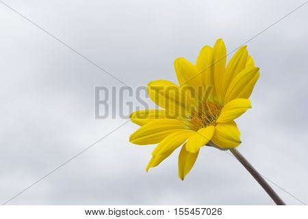 Yellow Gazania