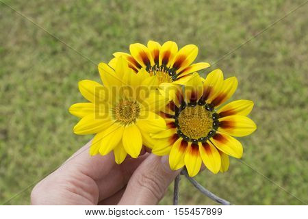 Hand Holding Three Yellow Gazanias, One Plain, Two With Red And Black