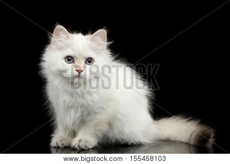 Furry British breed Kitty White color Sitting and Looking in camera on Isolated Black Background with reflection