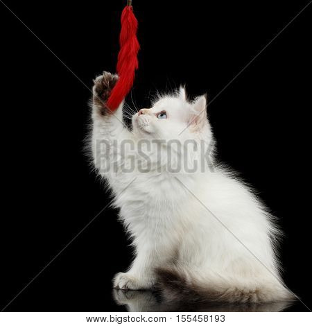 Furry British breed Kitty White color Sitting and stretched up to toy on Isolated Black Background with reflection
