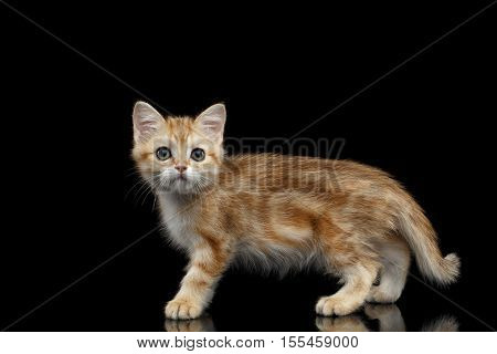 Cute British breed Kitty Gold Chinchilla color with tabby, Walking Isolated Black Background with reflection, Side view