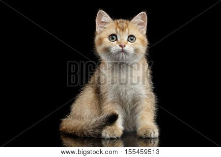 Cute British breed Kitty Gold Chinchilla color with tabby, Sitting Isolated Black Background with reflection, Front view