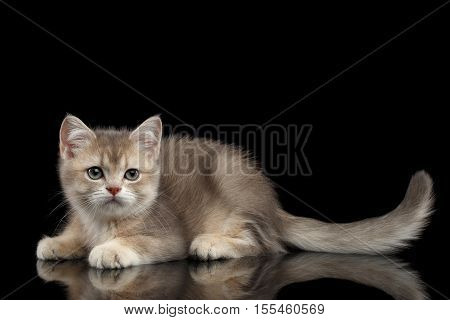 Playful British breed Kitty Beige color Lying on Isolated Black Background with reflection, Side view
