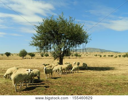 Flock of sheep grazing on pasture in Turkey