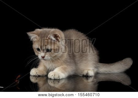 Playful British breed Kitty Beige color Isolated Black Background with reflection, Side view