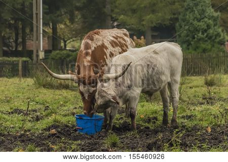Cow and bull on morning meadow in autumn time