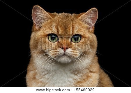 Close-up portrait of British breed Cat Gold Chinchilla color with green eyes, Isolated Black Background, Front view