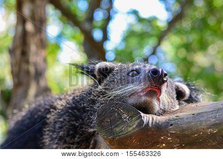 Binturong or Bearcat rest on tree branch