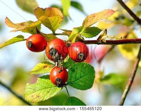 The rosehip in Thornhill Canada November 3 2016