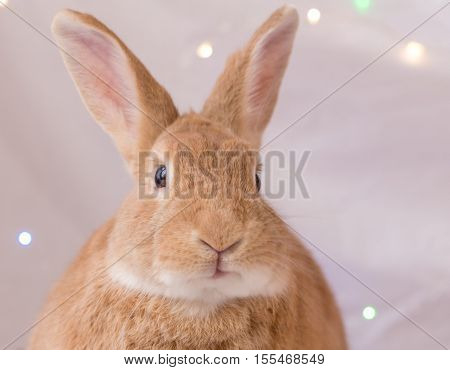 Closeup of cute adorable rufous colored rabbit in soft light