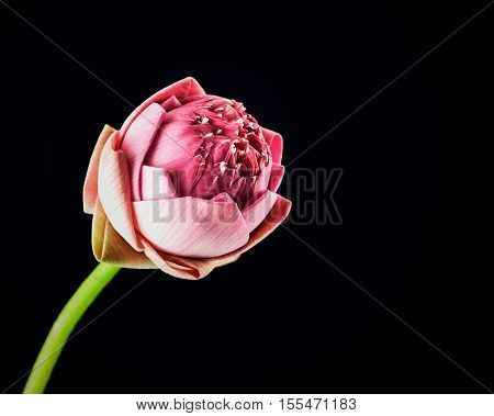 Pink lotus flower isolated on black background