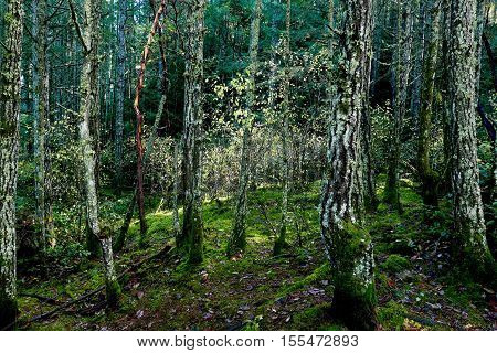 Sunlight filters through the fir trees in southern Vancouver Island illuminating the undergrowth and subtle fall colors