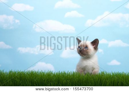 One tiny siamese kitten with munchkin traits sitting in grass looking up and to viewers left. Blue background sky with white clouds. Copy space.