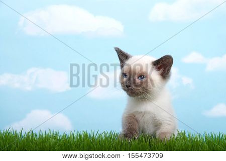One tiny siamese kitten with munchkin traits sitting in grass looking to viewers left. Blue background sky with white clouds. Copy space.