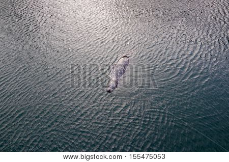 A harbour seal floats on the surface refracting the ripples caused by a gust of wind.