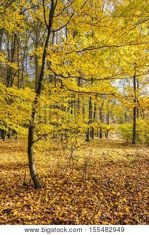 Amazing autumn in beech forest with colorful leaves