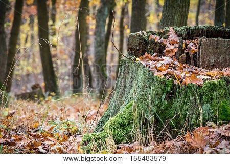 Old Mossy Stump In Autumn Forest