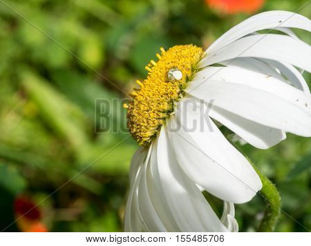 Camomile flower close up in the gaden