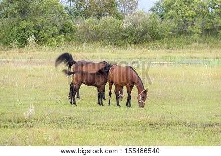 Two horses and a foal grazing on a beautiful lawn