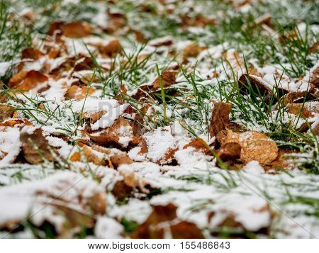 The first dropped-out snow has covered a green grass and yellow fallen leaves at the end of October.