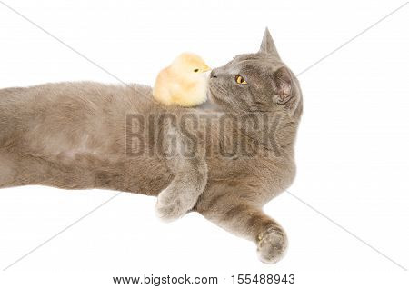 Funny profile portrait of little chick kissing chartreux cat. Animals and pets isolated on white background