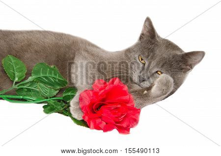 Studio portrait of chartreux cat with red rose