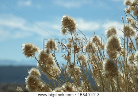 rabbit brush against a blue sky in Nevada