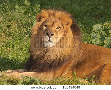 Male Lion checking out the veiwer