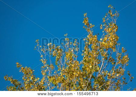 Detailed view of top of Poplar branch with yellow autumn leaves against the blue sky.