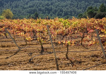 Back light over vineyard with bobal grape, closeup