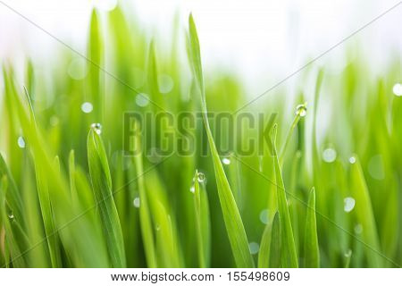 Dew drop on fresh wheatgrass with nature bokeh For nature background (shallow depth of field)