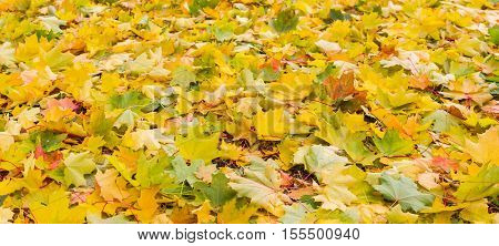 Background of fallen varicolored maple leaves in autumn cloudy day