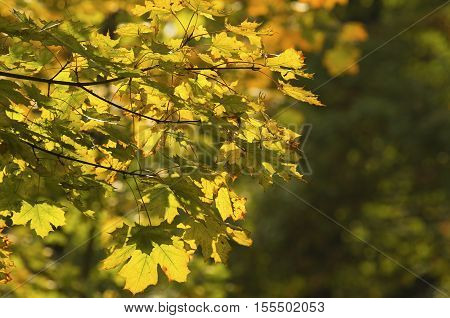 The maple branch with beginners to wither leaves in a sunlight