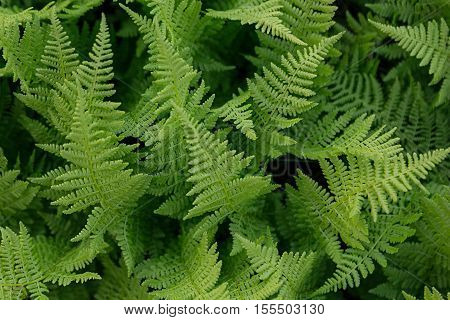 Rich green fern closeup. Floral leaves background.