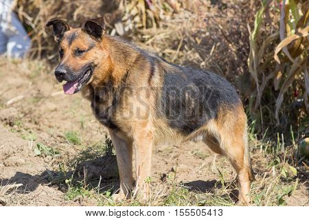 German shepherd Dog protects cornfield agriculture in autumn
