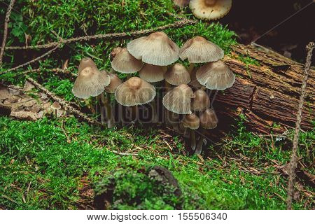 Group gray mushroom with moss in the forest