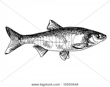 Hand drawn fish Vector poster