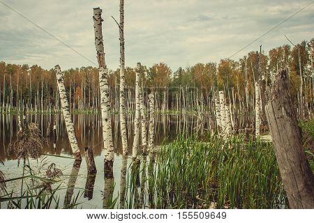 Old birch tree in lake at autumn forest
