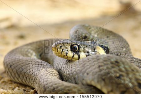 close up of common grass snake ( Natrix natrix )