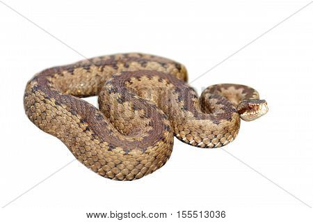 common european viper isolated over white background ( Vipera berus female )