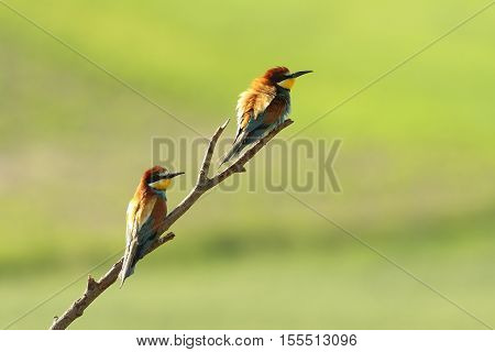 european bee eaters perched on branch ( Merops apiaster )