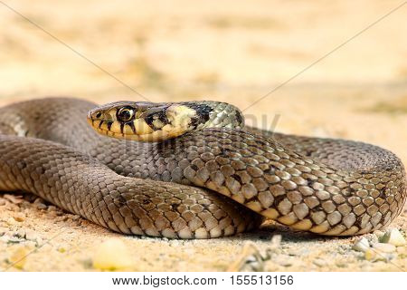 juvenile grass snake close up ( Natrix )