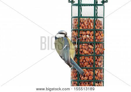 hungry blue tit on bird feeder full of peanuts ( Cyanistes caeruleus ) isolation over white background