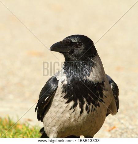 portrait of hooded crow ( Corvus cornix )