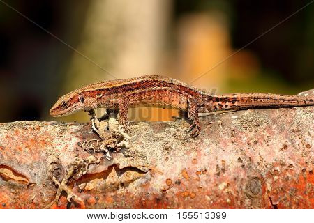 balkan wall lizard basking on wooden stump ( Zootoca vivipara )
