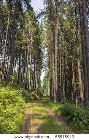 Fir Tree Forest. Inside Of The Romanian Woods. Bucovina Forest. Romania Mountain Forest. Beautiful F