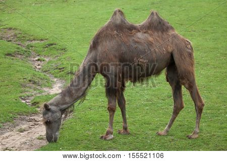 Bactrian camel (Camelus bactrianus). Domestic animal.