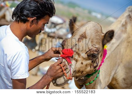 Rajasthani Indian Man Decorates His Camel At Pushkar Fair, India.